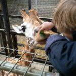 9-feeding-giraffe-at-chessington