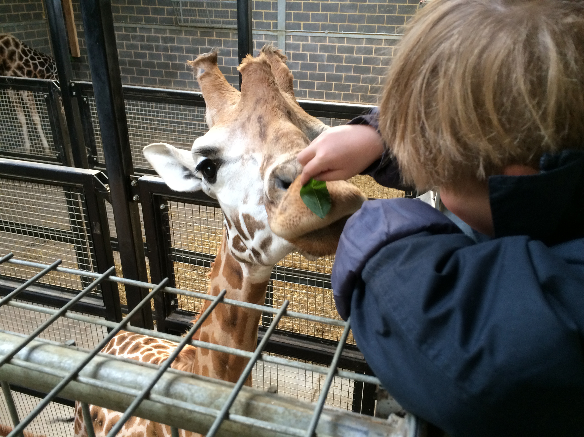 9-feeding-giraffe-at-chessington